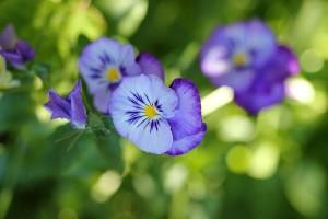 Cute little blue pansies