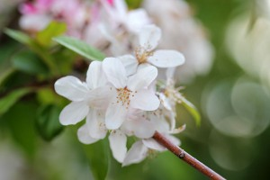 Apple blossoms are pretty