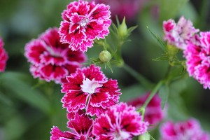 Dianthus - who knew they were edible