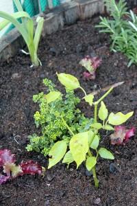 New herb and lettuce seedlings