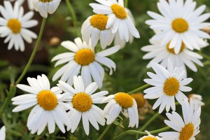 Daisies waiting to be planted