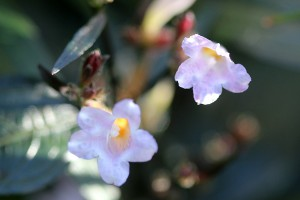 And tiny flowers on the Strobilanthes