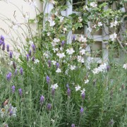 Gaura and Lavender together