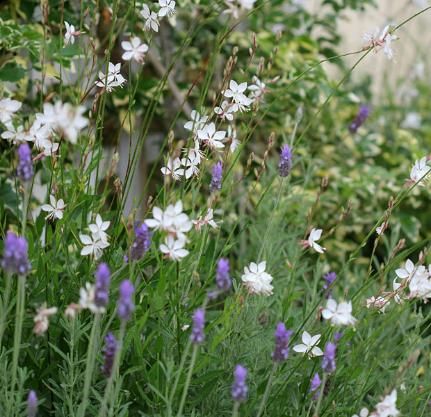 Gaura and Lavender, firm favourites