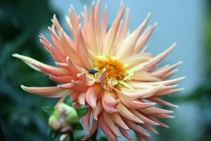 This Dahlia is massive - but look inside ....