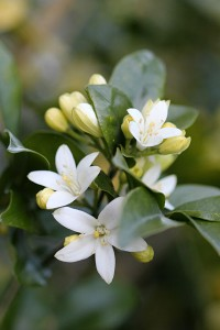 Murraya exotica has a powerful scent