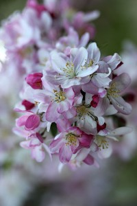 Another look at the Crabapple