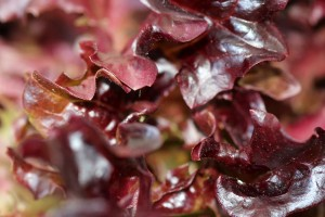Red leafed lettuce