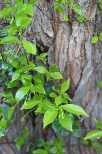 Star Jasmine growing up a tree