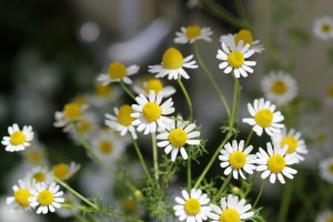 Pretty Chamomile blooms (thank you Barbie!)