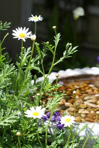 Cute daisies mix with Heliotropium