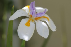 Dietes grandiflora are in bloom