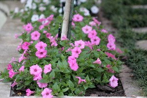 Petunias: The big picture ...