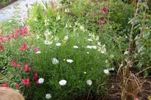 Thriving with Salvia greggii in full sun