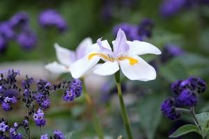 Dietes grandiflora and Heliotropium