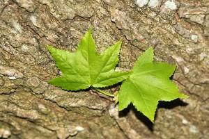New leaves on the Liquidamber