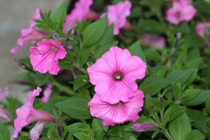Petunias have started to flourish