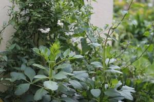 Solanum jasminoides behind the Dahlia