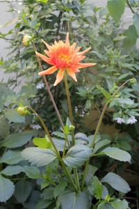 The massive Dahlia is taller than me
