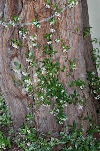 Jasmine climbing up the tree