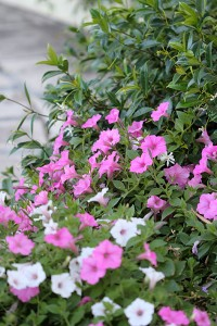 Petunias and Star Jasmine