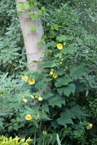 Abutilon against a tree