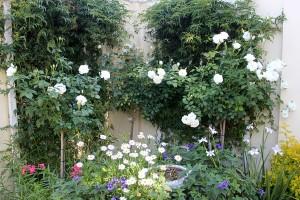 The rose bushes on Monday ...
