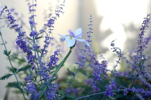 Russian Sage with Dietes