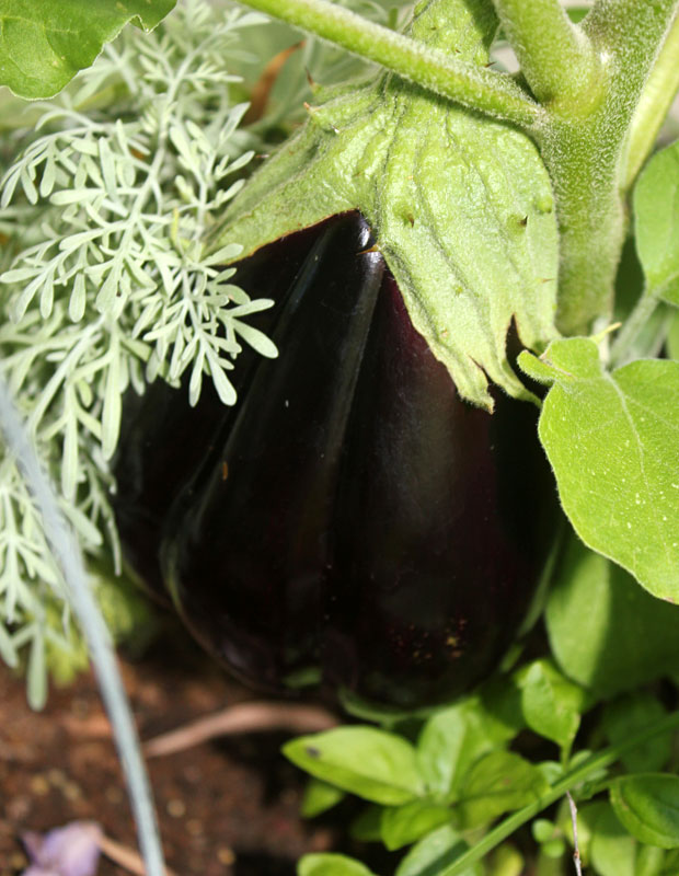 "Brinjal ""Black Beauty"""