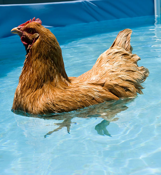 Bye bye buffy by the gardening blog for Chicken in swimming pool