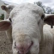 08 Sheep 06