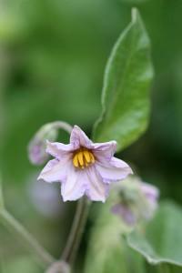 Brinjal Black Beauty flower