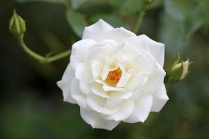 The lovely Iceberg Rose still blooming