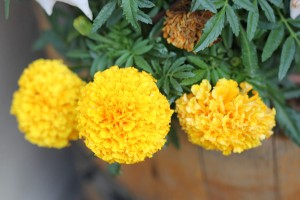 Cute Marigolds are taking over