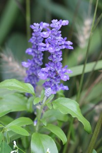 The Salvia are gorgeous
