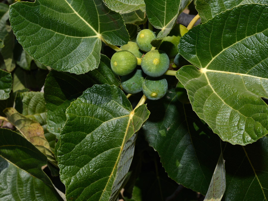 Fig Tree Fruits Pictures