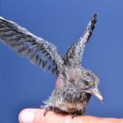 Baby dove Day 7