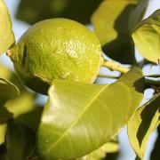 First Lemon on the Lemon tree