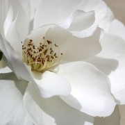 Beautiful Iceberg rose