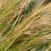 Feather Grass Makro