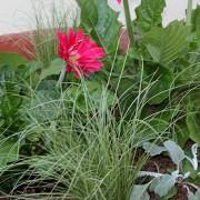 Gerbera and Carex