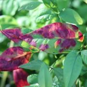 Love the colour on the Nandina pygmaea