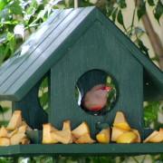Rooibeksysie in the bird feeder