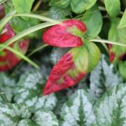 Red leaves on Nandina pygmaea