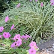 Carex Evergold in my garden