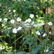 My lovely little field of Anemones