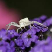 an intsy wintsy white spider