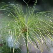 A lovely Cyperus paptrus
