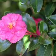 Lovely Camellia